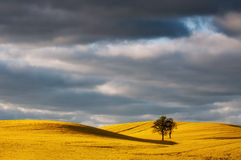 желтый цвет rapeseed поля цветеня Стоковое Фото
