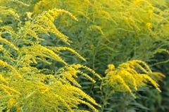 Желтый цвет Solidago Стоковые Фотографии RF