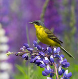 желтый цвет wagtail западный Стоковое фото RF