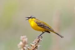 желтый цвет wagtail западный Стоковые Фото