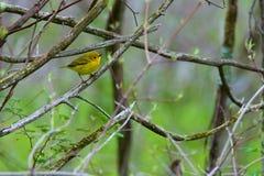желтый цвет warbler пункта pelee парка ontario положения Канады национальный Стоковые Изображения RF