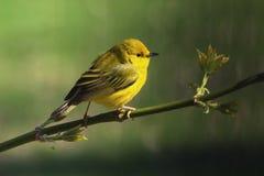 желтый цвет warbler пункта pelee парка ontario положения Канады национальный Стоковое Фото