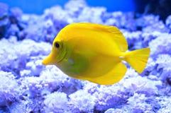 Желтый цвет Zebrasoma Стоковые Фотографии RF