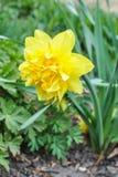 Желтый член Wilden narcissus стоковые фото