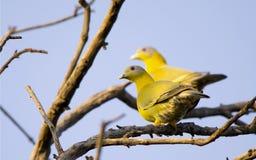 Желтый шагающий зеленый голубь (Treron Phoenicoptera) Стоковое Изображение