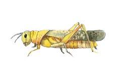 Желтый эскиз кузнечика Стоковые Изображения RF