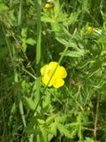 Желтый лютик Стоковые Изображения RF