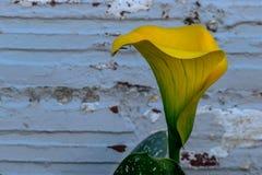 Желтый Arum стоковые фотографии rf