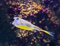 Желтый boxfish Стоковая Фотография RF