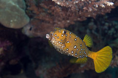 Желтый boxfish fem. (cubicus ostracion). Стоковые Фотографии RF