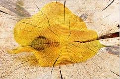 Желтый calla Стоковые Фотографии RF