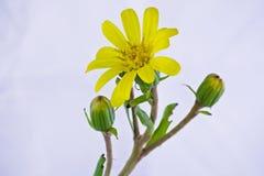 Желтый Cineraria Стоковое Изображение RF