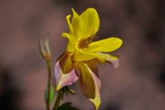 Желтый columbine цветок Стоковое Изображение RF