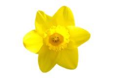Желтый daffodil Стоковое фото RF