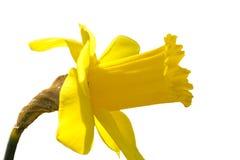 Желтый daffodil Стоковые Фотографии RF