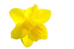 Желтый daffodil Стоковое Изображение