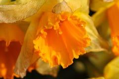 Желтый daffodil стоковые фото