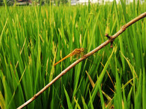 Желтый Dragonfly в полях риса Стоковая Фотография RF
