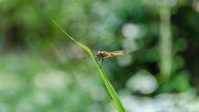 Желтый Dragonfly на острых лист Стоковая Фотография