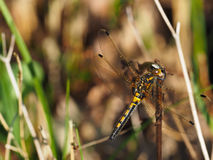 Желтый Dragonfly на ручке Стоковые Фотографии RF