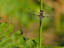 Желтый Dragonfly на ручке Стоковое Изображение RF