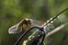 Желтый dragonfly Стоковая Фотография