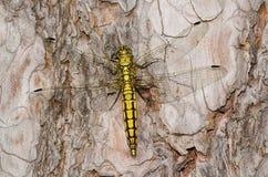Желтый dragonfly Стоковое Фото