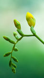 Желтый freesia Стоковые Изображения