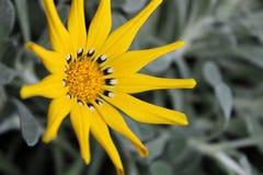 Желтый gazania Стоковая Фотография