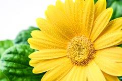 Желтый Gerbera с белой предпосылкой Стоковые Изображения