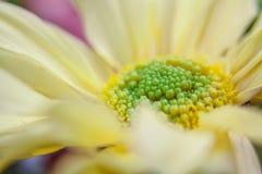 Желтый gerbera Стоковые Фото