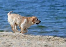 Желтый labrador бежать на море Стоковая Фотография RF