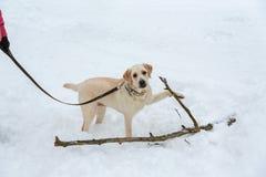 Желтый labrador в снеге стоковые изображения