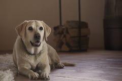 Желтый labrador Стоковое Изображение RF