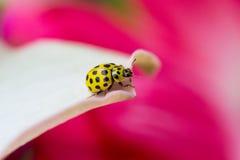 Желтый Ladybird Стоковые Фотографии RF