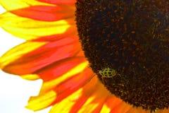 Желтый ladybug Стоковые Изображения RF