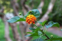 Желтый Lantana Camara цветка, тема природы Стоковые Изображения