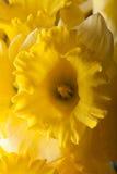 Желтый narcissus весны поле глубины отмелое Селективный фокус Стоковые Фотографии RF