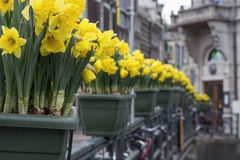 Желтый narcissus в зеленых баках в Амстердаме Стоковые Фото