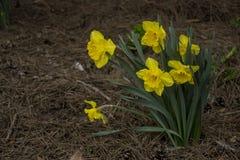 Желтый narcissus на земле Стоковое Фото