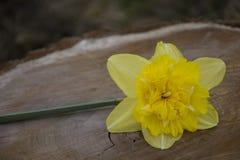 Желтый narcissus на древесине Стоковая Фотография RF