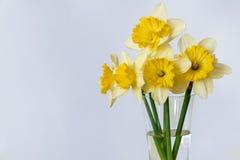 Желтый narcissus Стоковая Фотография RF