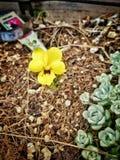 Желтый pansy Стоковые Изображения