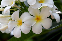 Желтый plumeria, цветки Leelawadee Стоковое Изображение RF
