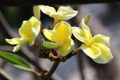 Желтый Plumeria Стоковые Фотографии RF