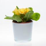 Желтый primula в цветочном горшке Стоковое Фото