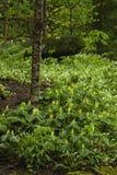 Желтый Trillium & Phacelia, большое закоптелое Mtns NP Стоковые Изображения