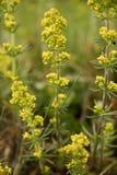 Желтый Wildflower Стоковая Фотография