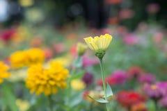 Желтый Zinnia Стоковое фото RF