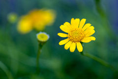 Желтый Zinnia стоковая фотография
